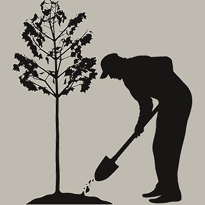 koku stādīšana mežā, meža stādīšana, meža sēšana, meža dabiskā atjaunošana,