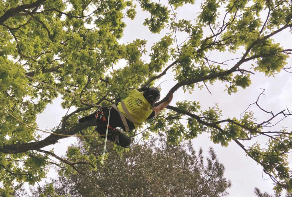 Arborista pakalpojumi - Arborists (kokkopis) ir sertificēts profesionālis, kas praktizē koku un krūmu kopšanu.