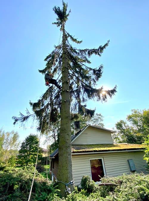 Bīstamo koku zāģēšana, ciršana