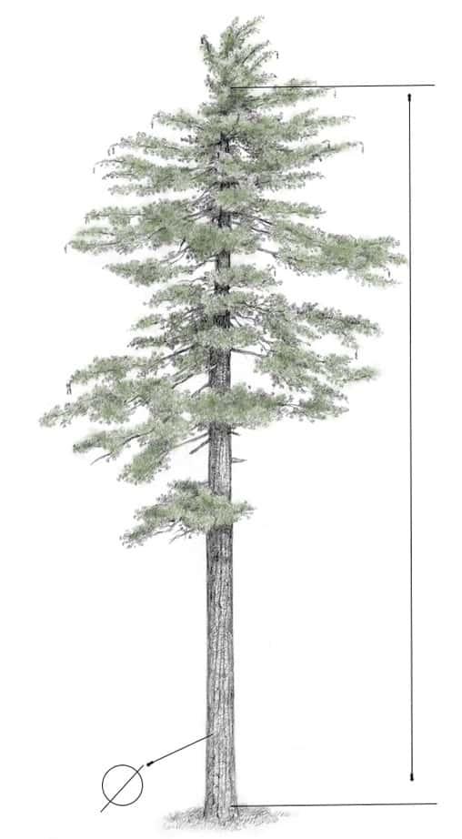 dastošana jeb meža vērtības noteikšana ir augošu koku uzmērīšana.