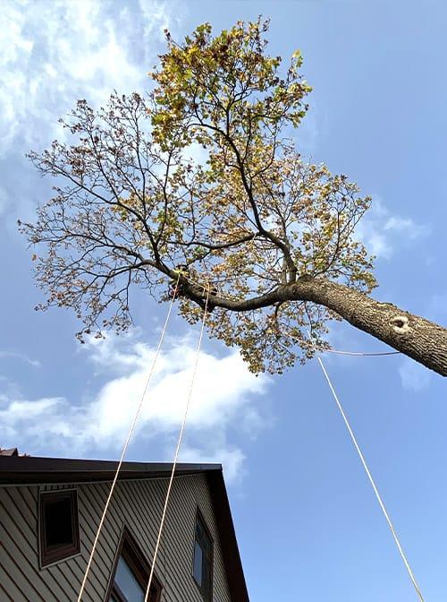 Koka nozāģēšana virs ēkas jumta
