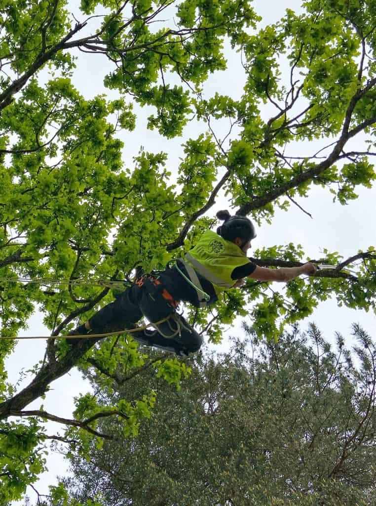 koku zaru apzāģēšana, koku apzāģēšana